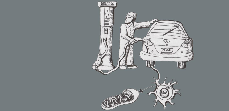 Zeichnung von der Mitochondrie in der Zelle und wie sie als Kraftwerk agiert